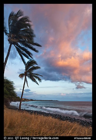 Palm trees on beach sway in breeze at sunset. Lahaina, Maui, Hawaii, USA (color)