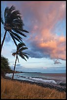 Palm trees on beach sway in breeze at sunset. Lahaina, Maui, Hawaii, USA ( color)