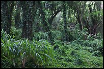Jungle forest. Maui, Hawaii, USA (color)