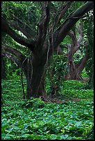 Lianas and rainforest trees. Maui, Hawaii, USA (color)