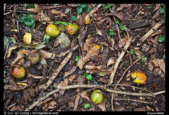Forest floor close-up with fallen fruits. Maui, Hawaii, USA