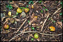 Forest floor close-up with fallen fruits. Maui, Hawaii, USA ( color)