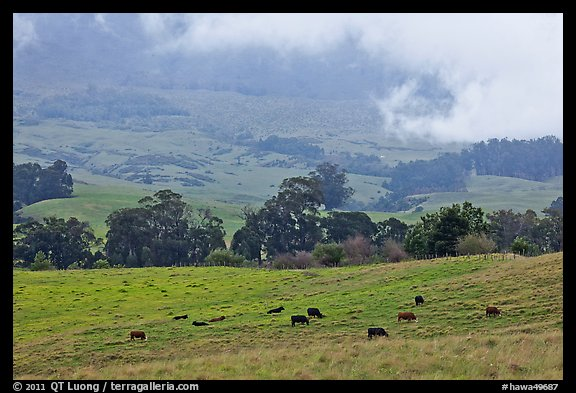 High country pastures with cows. Maui, Hawaii, USA (color)