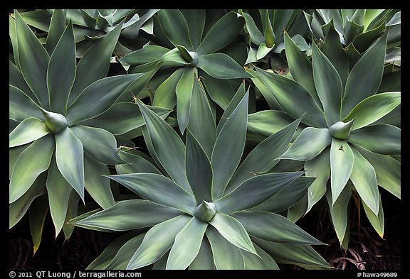 Cluster of agaves. Maui, Hawaii, USA (color)