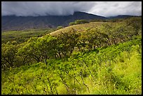 Dryland vegetation on hillside. Maui, Hawaii, USA