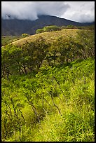 Shrubs and trees on hillside near Kaupo. Maui, Hawaii, USA ( color)