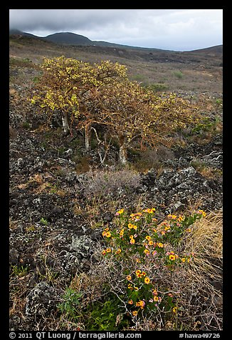 Flowers and tree in lava flow. Maui, Hawaii, USA (color)