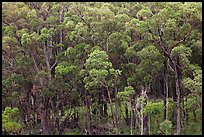 Eucalyptus forest. Maui, Hawaii, USA ( color)
