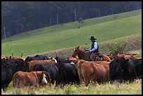 Cowboy rounding up cattle herd. Maui, Hawaii, USA (color)