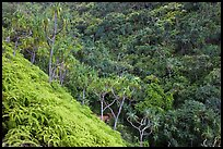 Lush tropical vegetation on Pali, Na Pali coast. Kauai island, Hawaii, USA ( color)