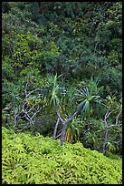 Ferns,  Pandanus trees and steep slope, Na Pali coast. Kauai island, Hawaii, USA (color)
