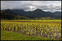 Taro cultivation, Hanalei Valley. Kauai island, Hawaii, USA (color)