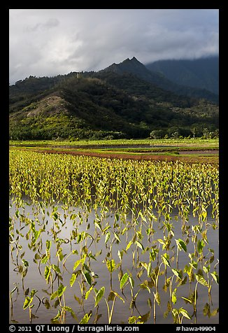 Taro paddy field and mountains, Hanalei Valley. Kauai island, Hawaii, USA