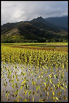 Taro paddy field and mountains, Hanalei Valley. Kauai island, Hawaii, USA ( color)