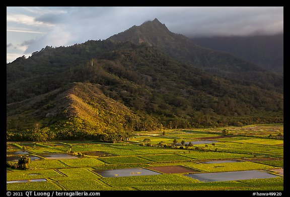 Taro paddy fields and mountains, Hanalei Valley. Kauai island, Hawaii, USA