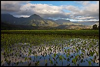 Taro fields reflections, Hanalei Valley. Kauai island, Hawaii, USA (color)