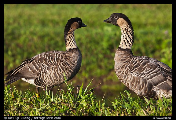 Hawaiian Geese, Hanalei National Wildlife Refuge. Kauai island, Hawaii, USA (color)