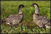 Hawaiian Geese, Hanalei National Wildlife Refuge. Kauai island, Hawaii, USA ( color)