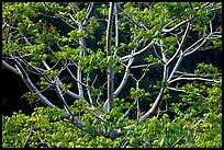 Branches of Hawaiian tree. Kauai island, Hawaii, USA (color)