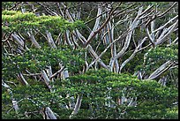 Branches of White Siris (Albizia falcataria). Kauai island, Hawaii, USA (color)
