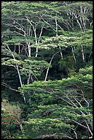 Grove of White Siris trees. Kauai island, Hawaii, USA ( color)