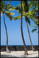Palm trees and wall built with volcanic rock, Kaloko-Honokohau National Historical Park. Hawaii, USA ( color)