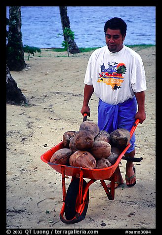 Villager carying coconuts in a wheelbarel. Tutuila, American Samoa (color)