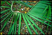 Basket being weaved from a single palm leaf. Tutuila, American Samoa ( color)