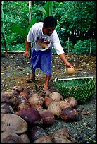 Villager throwing a pealed coconut into a basket made out of a single palm leaf. Tutuila, American Samoa ( color)