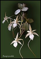 Aerangis punctata. A species orchid (color)