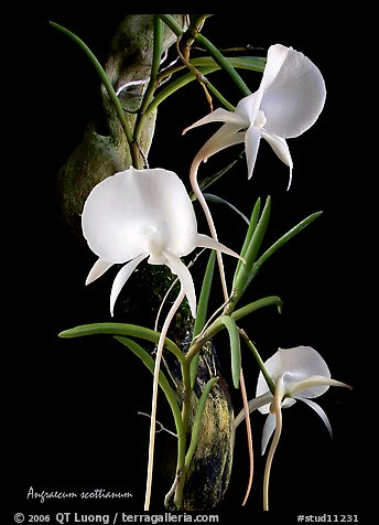 Angraecum scottianum. A species orchid