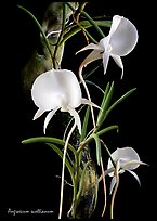 Angraecum scottianum. A species orchid (color)