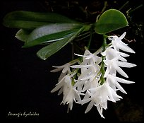 Arerangis hyaloides. A species orchid ( color)