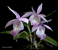 Barkeria spectabilis. A species orchid (color)