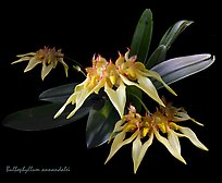 Bulbophyllum annandalei. A species orchid (color)