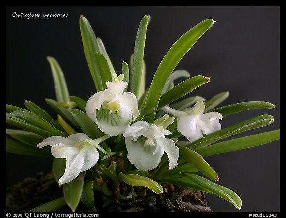 Centroglossa macroceras. A species orchid (color)