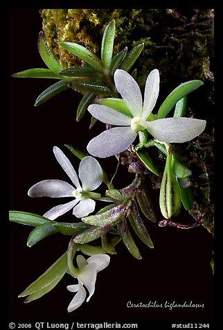 Ceratochilus biglandulosus. A species orchid
