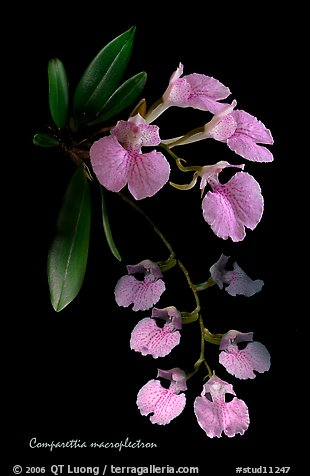 Studio/studarettia macroplectron. A species orchid