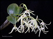 Dendrobium aemulum. A species orchid ( color)