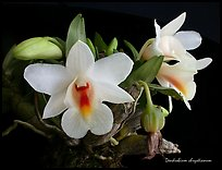Dendrobium chrystianum. A species orchid ( color)
