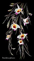 Dendrobium falconeri. A species orchid