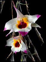 Dendrobium falconeri2. A species orchid