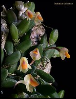 Dendrobium lichenastrum. A species orchid