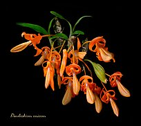 Dendrobium unicum. A species orchid