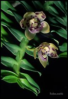 Dichaea pendula. A species orchid ( color)