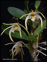 Diplocaulobium chrysotropsis. A species orchid (color)