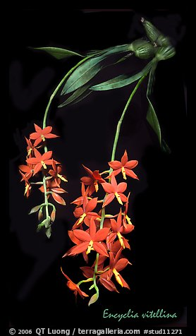 Encyclia vitellina. A species orchid