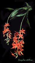 Encyclia vitellina. A species orchid ( color)