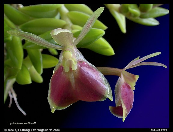 Epidendrum mathewsii. A species orchid