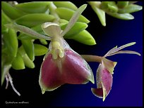 Epidendrum mathewsii. A species orchid (color)
